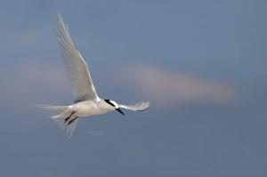 Black-Naped-Tern