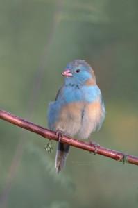 Blue-Capped-Cordon-Bleu