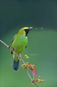 Blue Winged-Leafbird-(M)
